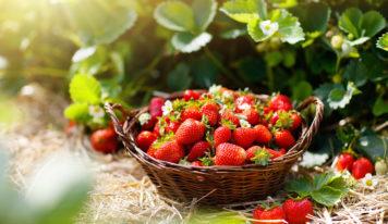 Saftige Erdbeeren – köstlich und gesund