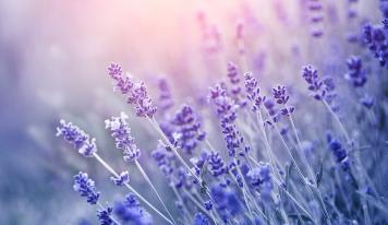 Lavendel – die duftende Schönheit mit heilender Wirkung