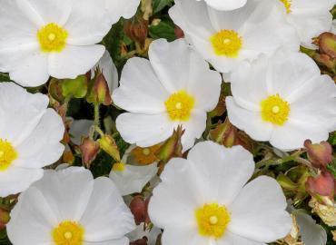 Die gesunde Zistrose – eine besondere Rose, die keine Rose ist